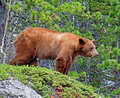 Cinnamon american black bear the is a color phase of the it is often mistakenly identified as a grizzly Stock Image