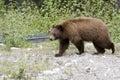 Cinnamon bear. Stock Image