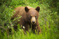 Cinnamon Black Bear Royalty Free Stock Photo