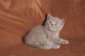 Cinnamon british shorthair kitten a on a brown background Royalty Free Stock Photography