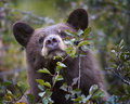 Cinnamon-colored black bear Royalty Free Stock Photo