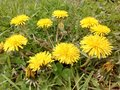 Circle of dandelions yellow growing low to the ground Royalty Free Stock Image