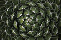 Circle Pattern Center of a Succulent Cactus Royalty Free Stock Photos