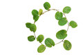 Circle of small creeper plant (cover crop plant, Evolvulus nummu