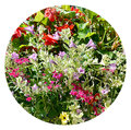 Circular cut out of flowers in window box a selection flowering plants a from a perth scotland Stock Photography