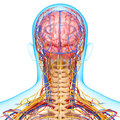 Circulatory and nervous system of brain d art illustration back view head Royalty Free Stock Photo