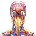 Circulatory and nervous system of head d art illustration Stock Images