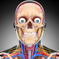 Circulatory and nervous system of head d art illustration Stock Photography