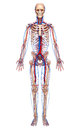 Circulatory system of full body Royalty Free Stock Photo