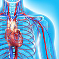 Circulatory system of half body highlights heart Stock Images