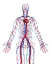 Circulatory system of male with heart Royalty Free Stock Image