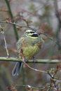 Cirl bunting emberiza cirlus male in tree Royalty Free Stock Photography