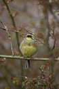 Cirl bunting emberiza cirlus male in tree singing Royalty Free Stock Photography
