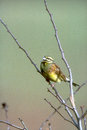 Cirl bunting emberiza cirlus single bird on branch devon Stock Photos