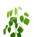 Cissus diamond-shaped( lat.Cissus rhombifolia) Royalty Free Stock Photo