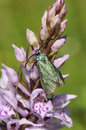 Cistus forester moth adscita geryon on common spotted orchid dactylorhiza fushsii Stock Photography