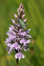 Cistus forester moth adscita geryon on common spotted orchid dactylorhiza fushsii Stock Photos