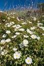 Cistus monspeliensis flower tiny white flowers blooming on the hillside Royalty Free Stock Images