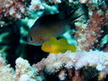 Citron coral goby on stag acropora coral damselfish in background Stock Image