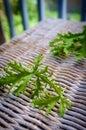 Citronella Plant Mosquito Repellant Royalty Free Stock Photo