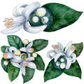 Citrus bigaradiya. medicinal, perfumery and cosmetic plants. Watercolor. Royalty Free Stock Photo