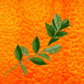 Citrus branch with orange background. Royalty Free Stock Image