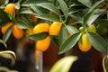 Citrus kumquat Royalty Free Stock Photo