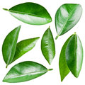 Citrus leaves isolated on a white background Royalty Free Stock Images