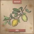 Citrus lemon aka lemon branch color sketch on vintage background.