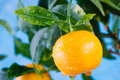 Citrus, mandarin fruits branch in the garden. Summer time photo orange tree. Royalty Free Stock Photo