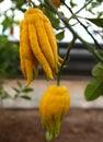 Citrus medica L. var. sarcodactylis Swingle Royalty Free Stock Photo