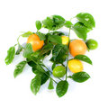 Citrus and Orange. Royalty Free Stock Photography