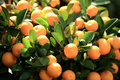 Citrus oranges grow on tree for a happy chinese new year Stock Photography