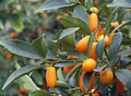 Citrus plants growing oranges and lemons in Sicily Royalty Free Stock Photo