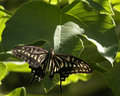 Citrus swallowtail Stock Images
