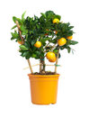 Citrus tree Royalty Free Stock Image