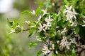 Citrus tree flowers