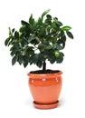 Citrus tree in the pot Royalty Free Stock Photo