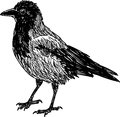 City crow Stock Photos