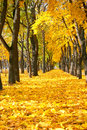 City park at autumn season, trees in a row with fallen yellow le Royalty Free Stock Photo