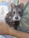 Civet Luwak Stock Photography