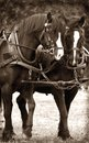 Civil war horses pulling wagon Royalty Free Stock Images