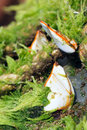 Clam the close up of white with green seaweed Stock Images