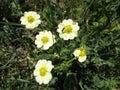 Clammy hedge hyssop saskatchewan wildflower Royalty Free Stock Image