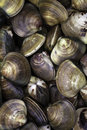 Clams fresh for sale at a stand Royalty Free Stock Photo
