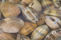 Clams in water Stock Images