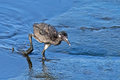 Clapper rail chick walking through in the marsh Stock Photo