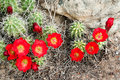 Claret Cup Cactus Royalty Free Stock Photography