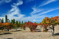 Claret red apricot orchard on sandy lakeside Royalty Free Stock Photo
