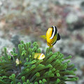 Clark's Anemonefish and Anemones Stock Image